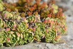 Saxifraga paniculata plant Stock Photos