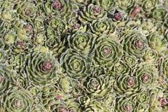 Saxifraga paniculata, White mountain saxifrage, Alpine saxifrage, Encrusted saxifrage, Silver saxifrage Royalty Free Stock Photography