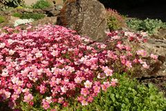 Saxifraga `Silver Cushion`, with flowers in full bloom in a rockery. Saxifraga `Silver Cushion`, plant with pink flowers in full bloom in a garden alpine stock photos