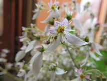Saxifraga. A small, fairly frankincense flower composed of three small petals and light purple and two longer and whites Stock Photo
