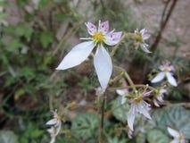 SaxifragaStolonifera blomma Arkivfoto