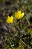 Saxifrage болота Стоковое Изображение RF