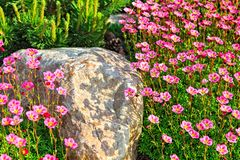 Saxifrage Royalty Free Stock Photo