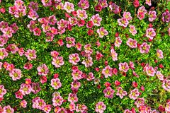 Saxifrage Royalty Free Stock Images