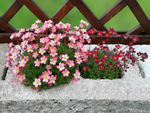 Saxifrage. Royalty Free Stock Photos