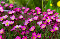 Saxifrage. A saxifrage in bloom on a garden Stock Image