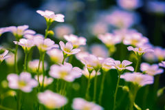 Saxifrage blooming closeup in the garden. In sun day Stock Image