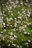 Saxifrage. Blossoming saxifrage in the garden Stock Photography