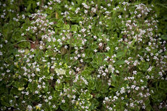 Saxifrage. Blossoming saxifrage in the garden Stock Images