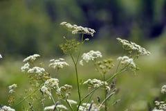 Saxifrage Burnet стоковое изображение