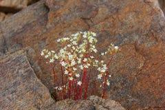 Saxifrage. Of coast lake baikal Stock Image