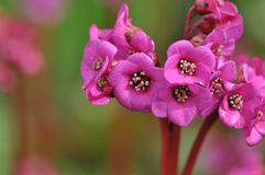Saxifrage elephant�s ear, pigsqueak Stock Images