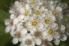 Saxifrage flowers close-up Royalty Free Stock Image