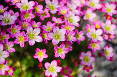 Saxifrage flowers. On the ground in the garden Stock Image