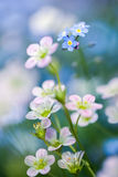 Saxifrage and forget-me-nots flowers. Stock Images