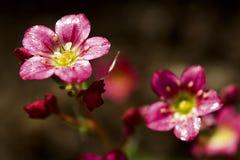 Saxifrage muscoso Fotografia Stock