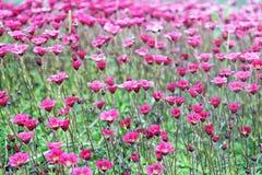 Saxifrage. Perennial garden plant in the garden Stock Photo