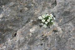 Saxifrage on rock Stock Image