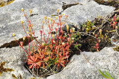 Saxifrage Rue-leaved Photo libre de droits