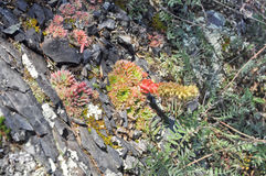 Saxifrage. Sparse vegetation of Yakutia. Stock Image