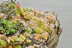 Saxifrage. Sparse vegetation of Yakutia. Stock Photography