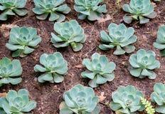 saxifrage Uma das variedades Fotografia de Stock