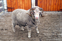 Saxon Merino Ram Stock Photography