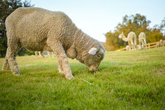 Saxon Merino Ram And Alpaca. Merino Ram and Alpaca , Eatting Grasses on the Moutains Stock Image