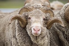 Saxon Merino Ram Royalty Free Stock Photo