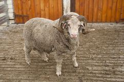 Saxon Merino Ram Stock Photos