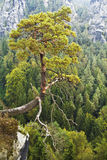 Saxon Switzerland. A lone pine tree hanging over the abyss Stock Images