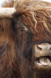Say 'A'. Scottish Highlander eating royalty free stock photo