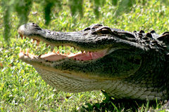 Say Ahhh. Large alligator sunning with her mouth open and teeth showing. Taken in Calabash, NC on Crow Creek Golf Course Stock Photography