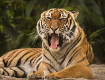 Say Ahhh...Malayan Tiger Opens Wide Stock Photos