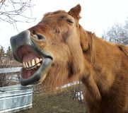 Say Cheese. See I have all of my teeth ... Amy, a senior equine and friend stock photo