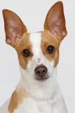Say Cheese. An adorable rat terrier posing for the camera royalty free stock photos