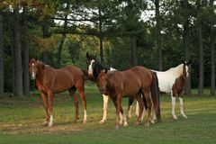 Say Cheese. Four horses standing in field looking a photographer Royalty Free Stock Images