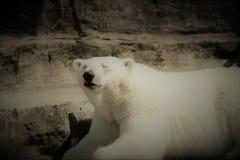 Say cheese!. Photogenic polar bear :& x29 Stock Image