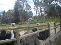 Say hello to the ostriches royalty free stock photo