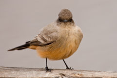 Say's Phoebe Royalty Free Stock Images