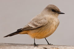 Say's Phoebe Royalty Free Stock Photo