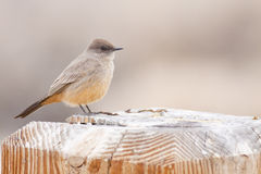 Say's Phoebe Royalty Free Stock Photography