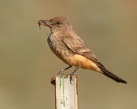 Say's Phoebe With Cicada In Beak Stock Image