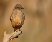 Say's Phoebe At End Of Perch. A Say's Phoebe sitting at the end of a perch during summer in Colorado Stock Photography
