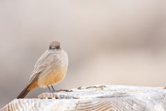 Say's Phoebe Fluffed Up Royalty Free Stock Photography