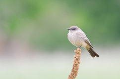 Say's Phoebe Royalty Free Stock Photos