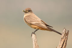 Say's Phoebe Holding Grasshopper Stock Photos