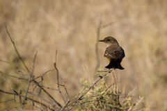 Say's Phoebe, Sayornis saya Royalty Free Stock Photography