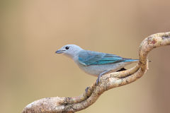 Sayaca Tanager perched on a vine Stock Image