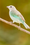 Sayaca Tanager (Thraupis sayaca) Royalty Free Stock Photography